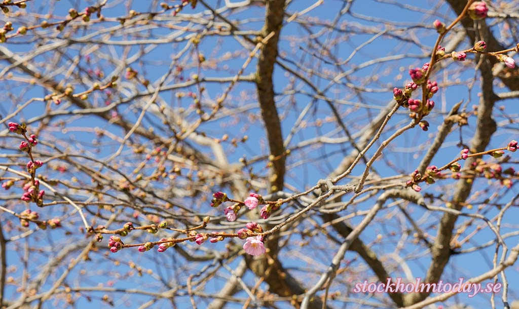 Kungsträdgården – Cherry Flowers day Stockholm