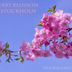 Stockholm today Cherry flowers (Cherry blossom in Stockholm)