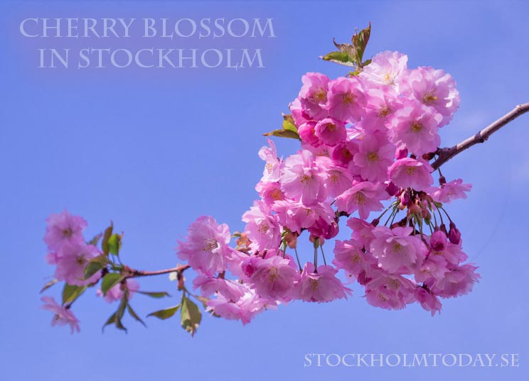 stockholm today Cherry flowers