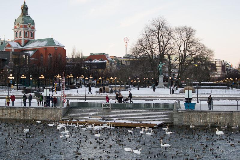 stockholm today swan feeding
