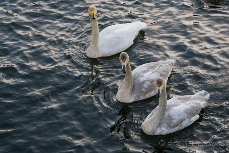 stockholm trumpeter swan visiting